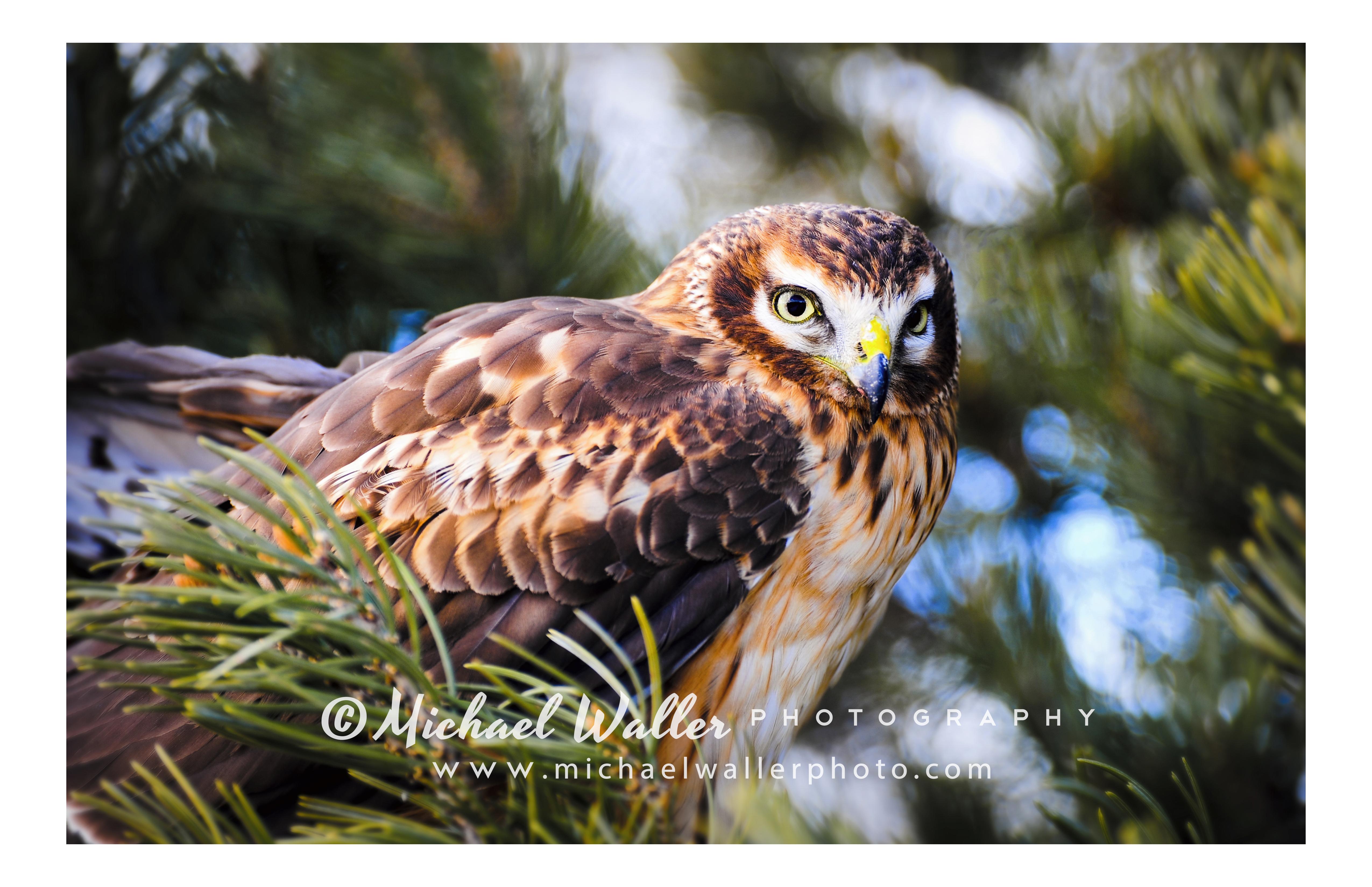 Hawk1 weblo