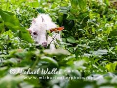 Jungle-Goat_weblo